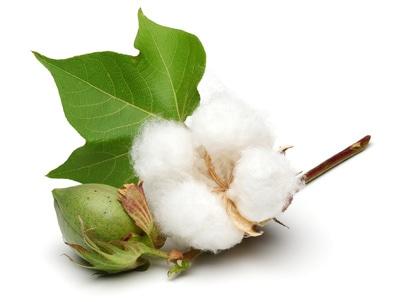 Le coton , l'or blanc de la Barbade